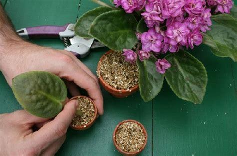 3 Biji Benih Buah Semangka Rembulan F1 Tanpa Biji 7 9 Kg Buah menanam violces di dalam ruangan indoor bibitbunga
