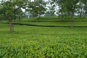 Ta Gardens by Assam Tea A Blend Of Taste And Quality All Resource