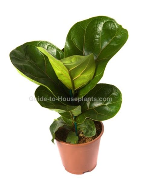 broad leaf tropical house plants fiddle leaf fig house plants ficus lyrata