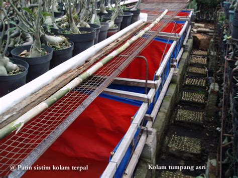 Bibit Ikan Nila Merah Di Palembang budidaya dan pembibitan ikan patin pasopati