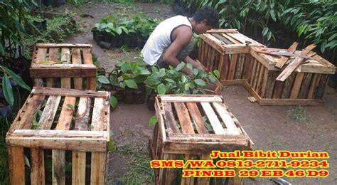 Bibit Durian Bawor Cangkok jual bibit durian montong sudah buah bibit durian