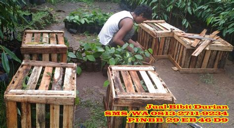 Bibit Durian Merah Di Medan jual bibit durian medan bibit durian montong bibit