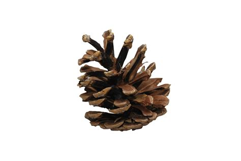 pine cones bag of 30 large pappa t