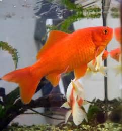gold le goldfisch