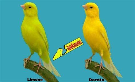 alimentazione canarini gialli la variet 192 allevamento canarini gialli e lutini
