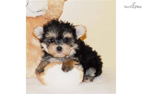 teacup yorkie poos for sale teacup yorkie poo puppies for sale breeds picture