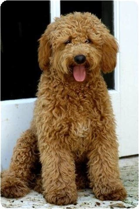 mini labradoodles hawaii labradoodles i want and poodles on