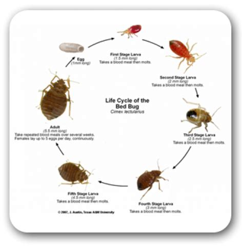 how do bed bugs live without food bed bug control in central illinois american pest