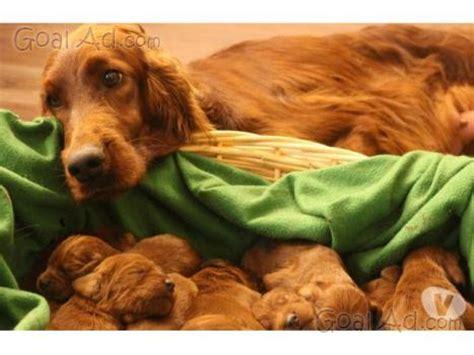 aci porto sant elpidio cuccioli setter irlandese allevamento magnasila