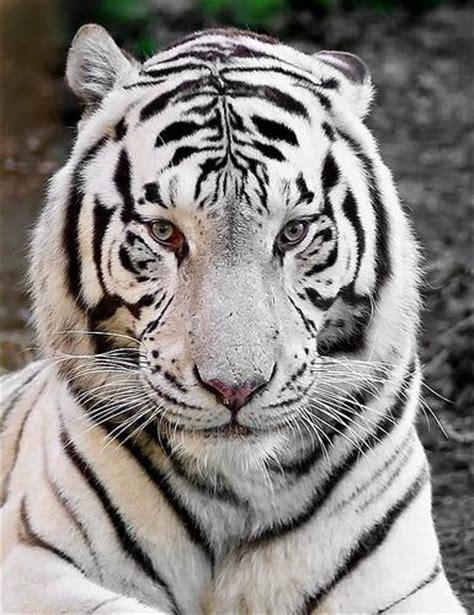 imagenes tigre blanco bengala im 193 genes y fotos de animales tigre de bengala blanco