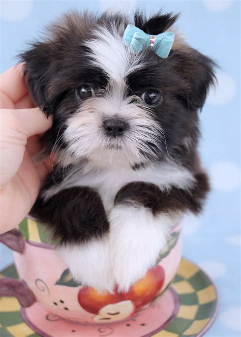 teacup shih tzu puppies for sale in houston micro teacups in south florida breeds picture breeds picture