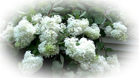 how to prune a tree hydrangea part 3 land designs unlimited llc