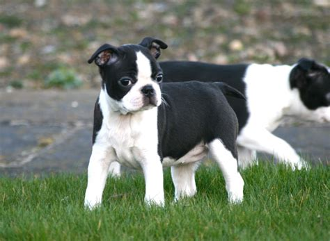boston terrier puppies pa boston terrier puppies for sale in pa keystone puppies breeds picture