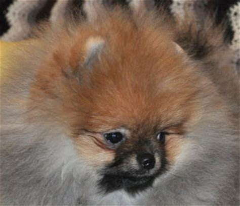 doll pomeranian types of pomeranians pomeranian breed facts care pictures