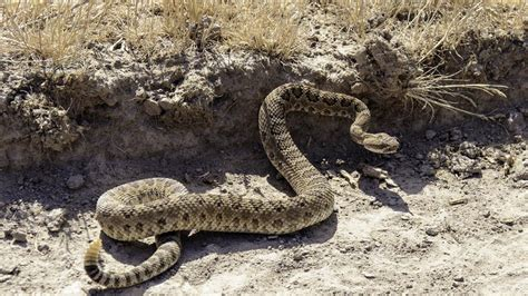 bit by rattlesnake taken by lifeflight to hospital after being bitten by rattlesnake in brazoria co