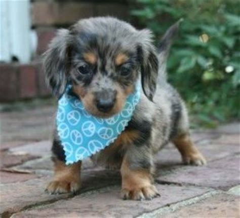 haired dapple dachshund puppies haired dapple mini dachshund puppies galore juxtapost