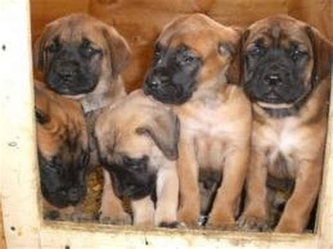 mastiff puppies az mastiff puppies dogs for sale in arizona az 19breeders gilbert peoria