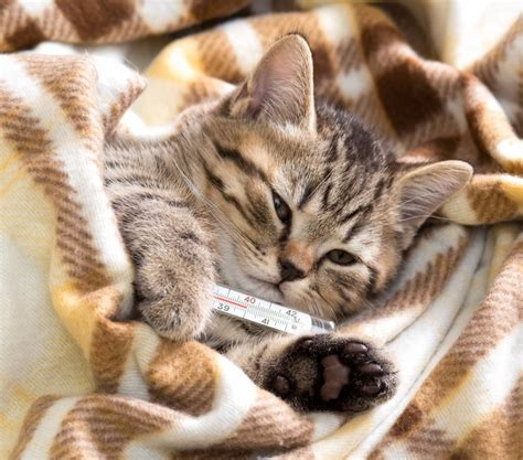kitten in bed why do cats meow