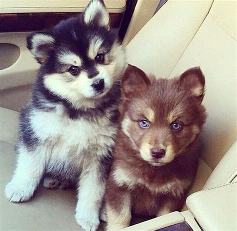 brown husky puppy best 25 mini siberian husky ideas on
