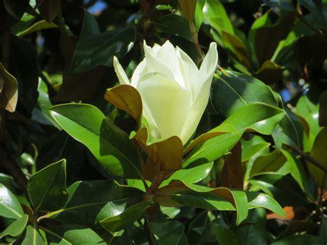 alberi con fiori bianchi albero con fiori bianchi profumati gpsreviewspot