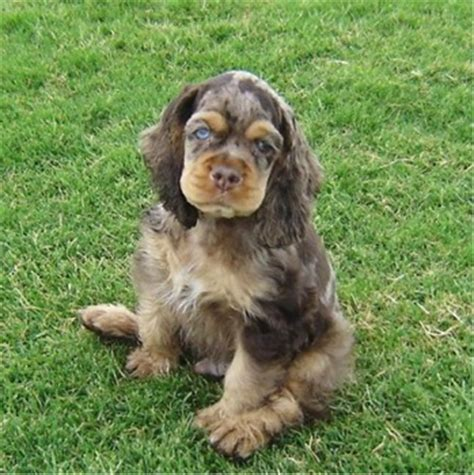 how much are cocker spaniel puppies cocker spaniel puppies breeders cockers