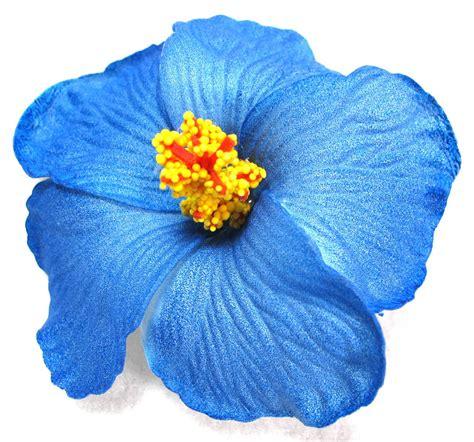 Image Gallery Hawaiian Blue Hibiscus
