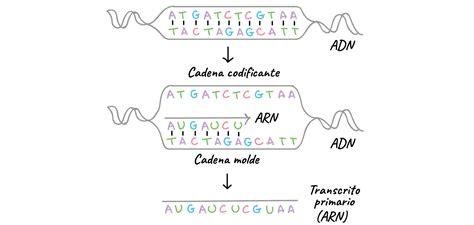 cadena molde de adn transcripcion inform 193 tica medica ii