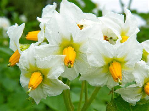 potato flower flickr photo sharing