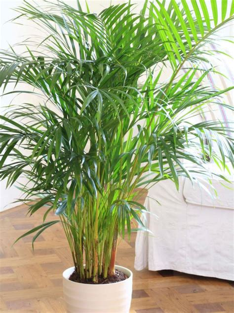 tropical foliage indoor plants planting potted palms hgtv