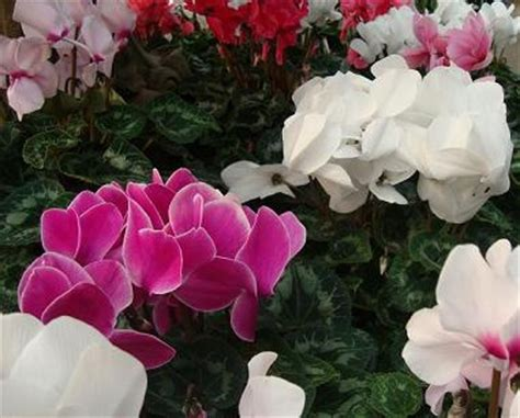 flowering house plants identification flowering house plants cyclamen one of favorite