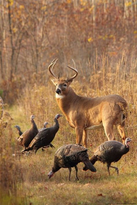 what does buck up deer the woods with these big birds deer