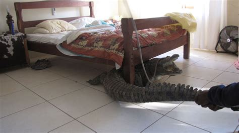 bed and body guy whittall finds 8ft crocodile hiding under his bed in
