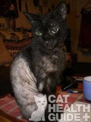pattern hair loss in cats cat hair loss hair loss and treatment