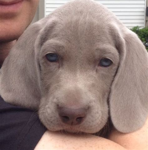 pictures of weimaraner puppies 1253 best images about weimaraners quot thes best breed quot on