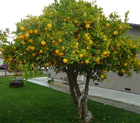 backyard lemon tree growing lemon trees in containers or in your garden town