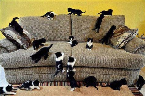 couch cat so many kittens pixdaus