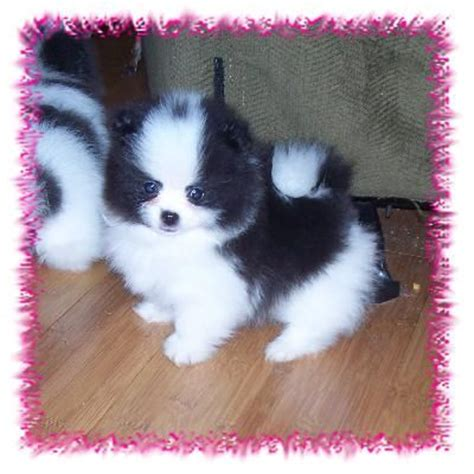 teacup pomeranian chihuahua mix for sale 16 best images about chihuahuas on chihuahuas animals and pets and puppies
