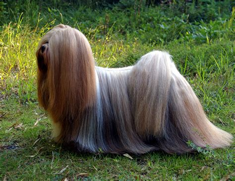 expectancy of a shih tzu lhasa apso span of lowchen