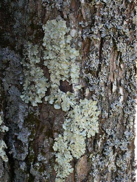 define tree msheath lichen pictures and definition