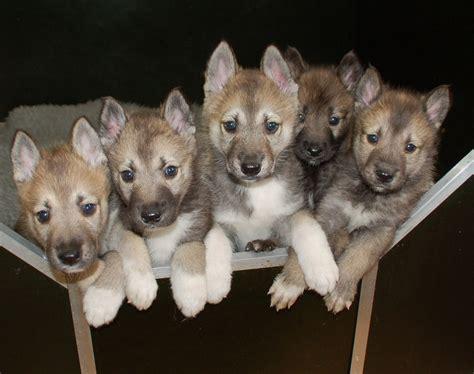 tamaskan puppy tamaskan puppy gallery