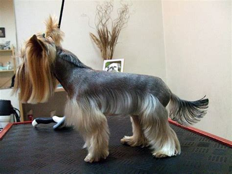 hair styles for yorkies explore yorkie haircuts pictures and select the best style for your pet