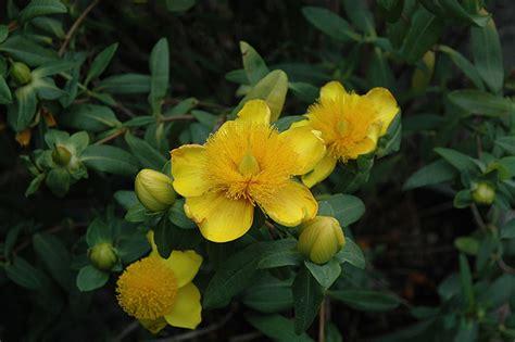 Weber Grill Gift Card Balance - sunburst st john s wort hypericum frondosum sunburst in milwaukee racine waukesha