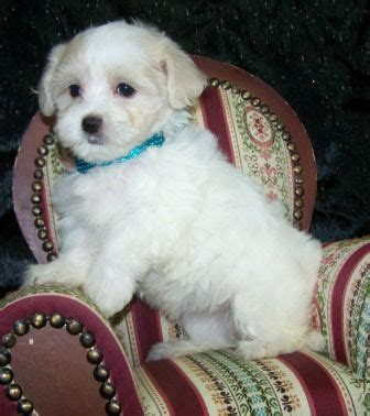 puppies for sale store best 10 morkie puppies for sale ideas on morkies for sale yorkie dogs