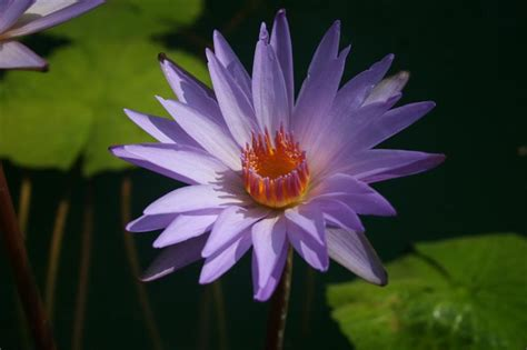 blue lotus san rafael nymphaea dr ralph rafael international