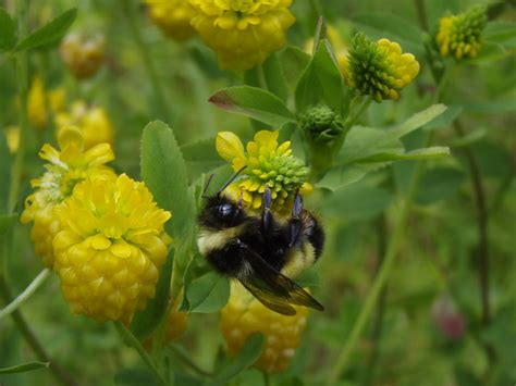 Yellow Bee yellow banded bumble bee nwt species at risk