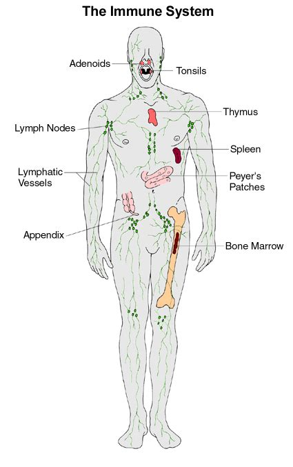 diagram of the immune system labeled diagram of lymphatic system human anatomy chart