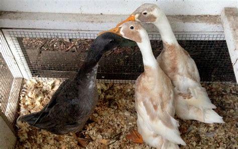 smart duck house  smart chicken coop