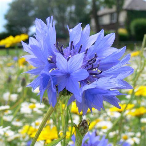 corn flower blue flower inspiration buy cornflower centaurea cyanus delivery by crocus