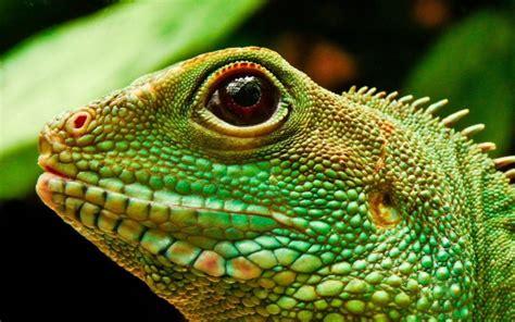imagenes de iguanas rojas iguana caracter 237 sticas cuidado de iguanas dom 233 sticas