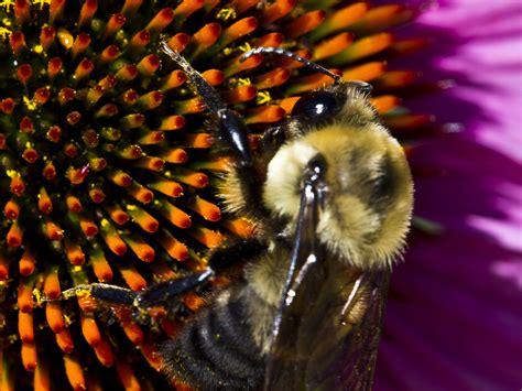 Bumble Bees - Prevention, Control & Facts About Bees
